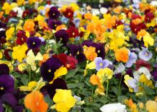 Clear colors in pansies are those with a flash of pure color without a blotch, such as this Matrix mix. A nice feature is the small, yellow eye at the throat of each flower. (Photo by MSU Extension Service/Gary Bachman)