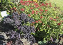 Redbor kale, seen here with Butterfly Red Penta, is an outstanding variety with colors that intensify as temperatures get lower. (Photo by MSU Extension Service/Gary Bachman)
