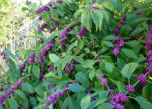 American Beautyberry is a fall-blooming plant commonly seen in the wild growing at the edges of wooded areas all across Mississippi and the Southeast. It produces clusters of bright purple berries. (Photo by MSU Extension Service/Gary Bachman)