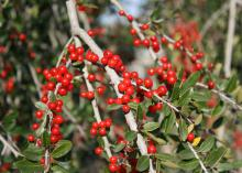 Yaupon hollies have bright, candy-apple red berries with a translucent quality that imparts a gem-like appearance. (Photo by MSU Extension Service/Gary Bachman)