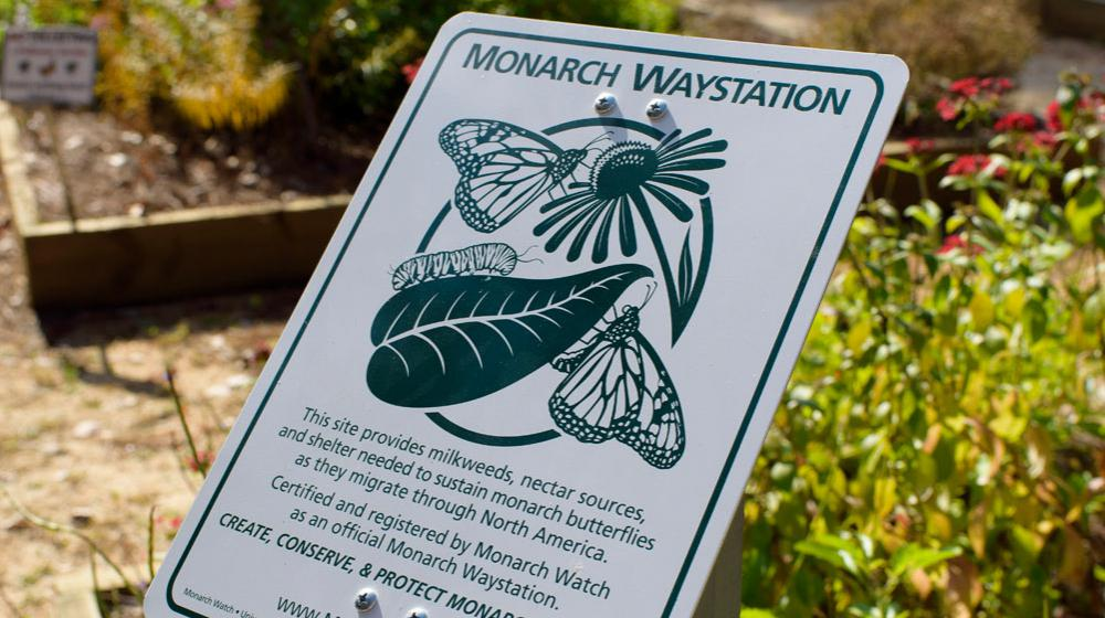 """A white sign with dark green lettering reads, """"Monarch Waystation: This site provides milkweeds, nectar sources, and shelter needed to sustain monarch butterflies as they migrate through North America. Certified and registered by Monarch Watch as an official Monarch Waystation. Create, Conserve, & Protect Monarch Habitats."""""""