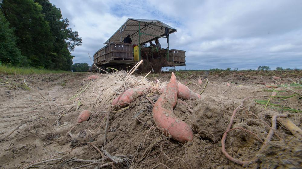 Sweet potatoes in brown dirt lay in a sweet potato field with a harvest machine in the background.