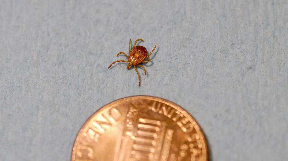 A brown tick is pictured next to a penny on a gray background.