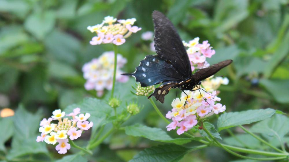 A brown swallowtail butterfly with white spots drinks nectar from a flowering pink and yellow lantana plant.