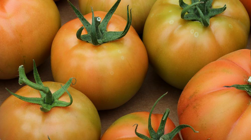 A group of ripening tomatoes are shown in a close-up.