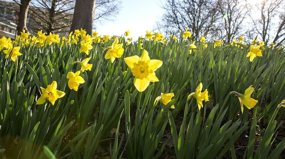 Blooming, yellow daffodils in the sunshine.