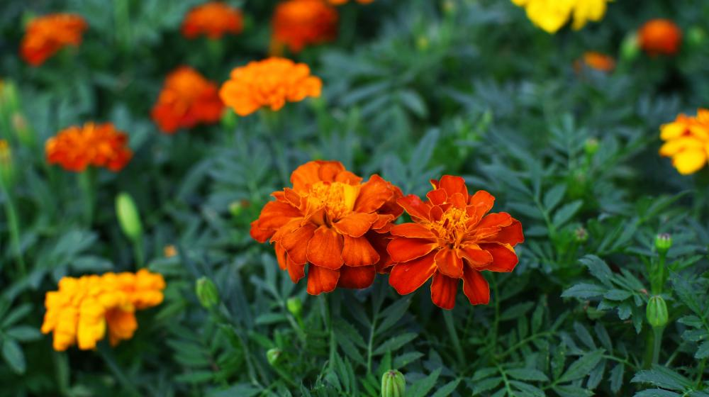 Two red and orange marigolds in focus with several yellow, red and orange marigolds out of focus in the background.