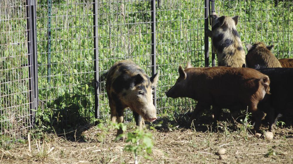Wild hogs caught in a trap.