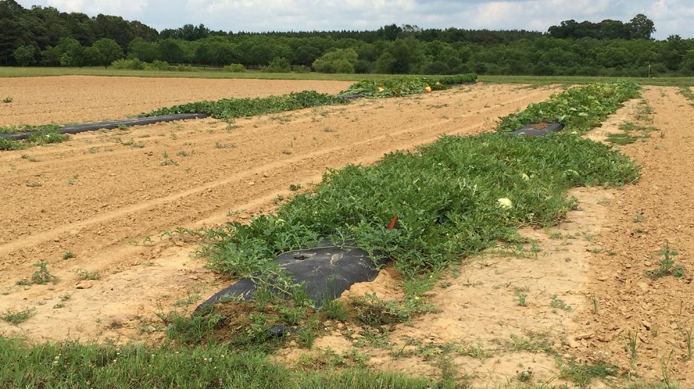 Four separate cucurbit crops grown in a field.