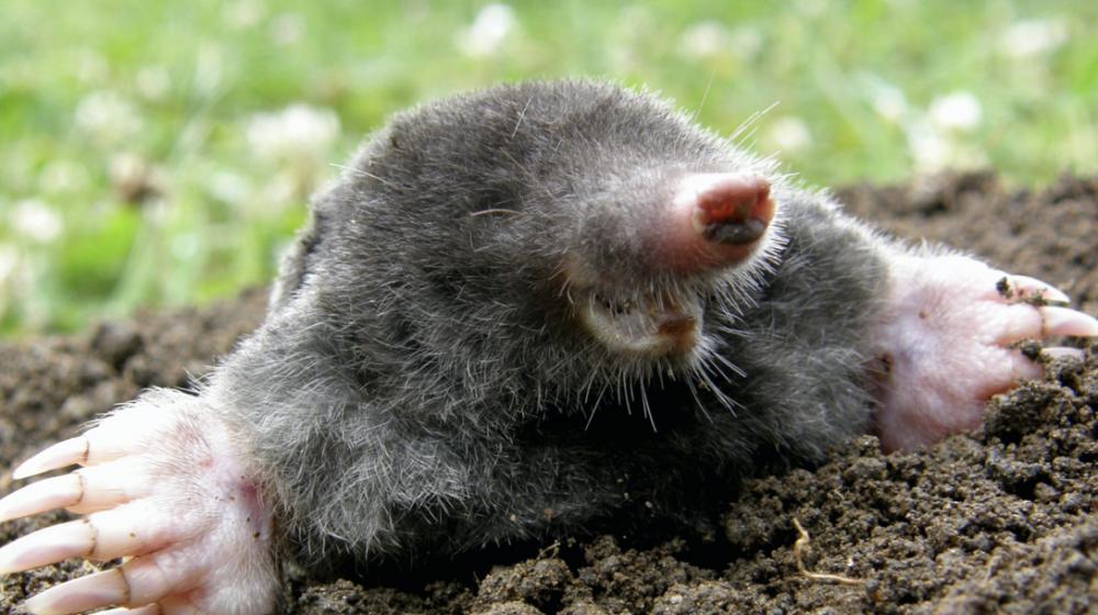 An Eastern mole.