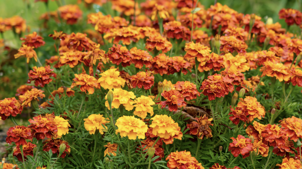 A field of orange and yellow marigolds.