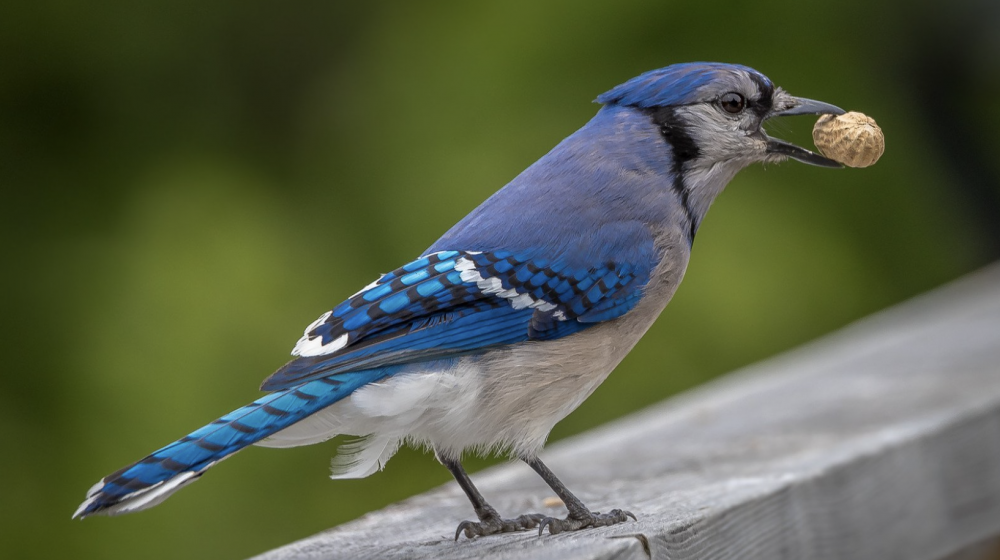 Blue Jay with nut in mouth.