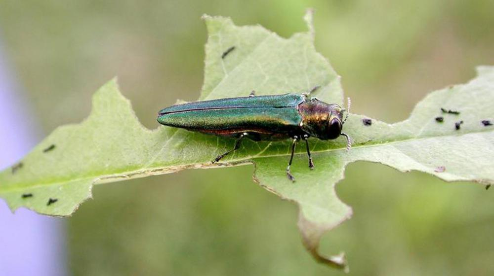 An emerald ash borer sits on a green leaf.