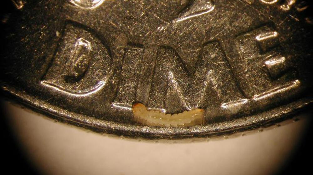 Emerald ash borer larva is shown on a dime.