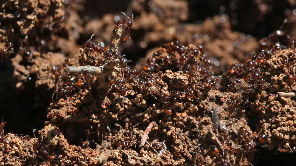 Invasive fire ants crawl over a mound of soil. (File photo by MSU Extension/Kat Lawrence)