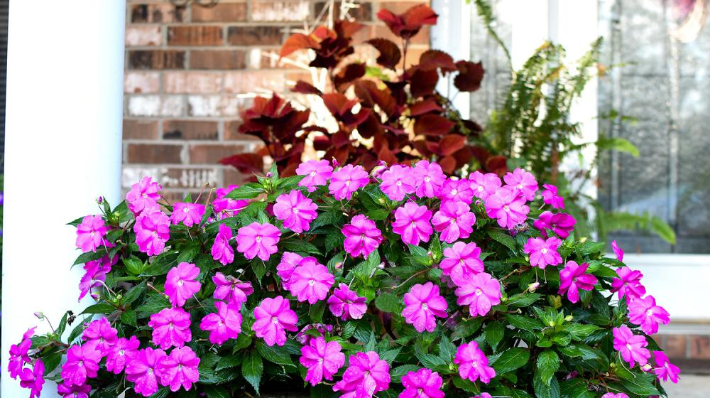 A combination container with pink impatiens and red and green coleus.