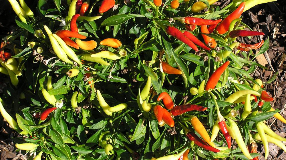 A pepper plant is shown in the garden.