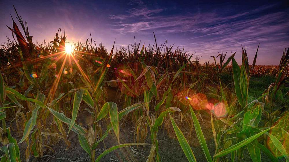 The sun shines over the horizon stretching above a corn field.
