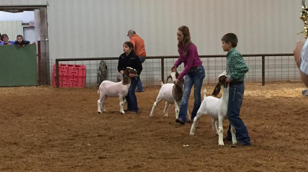 County livestock show - goats