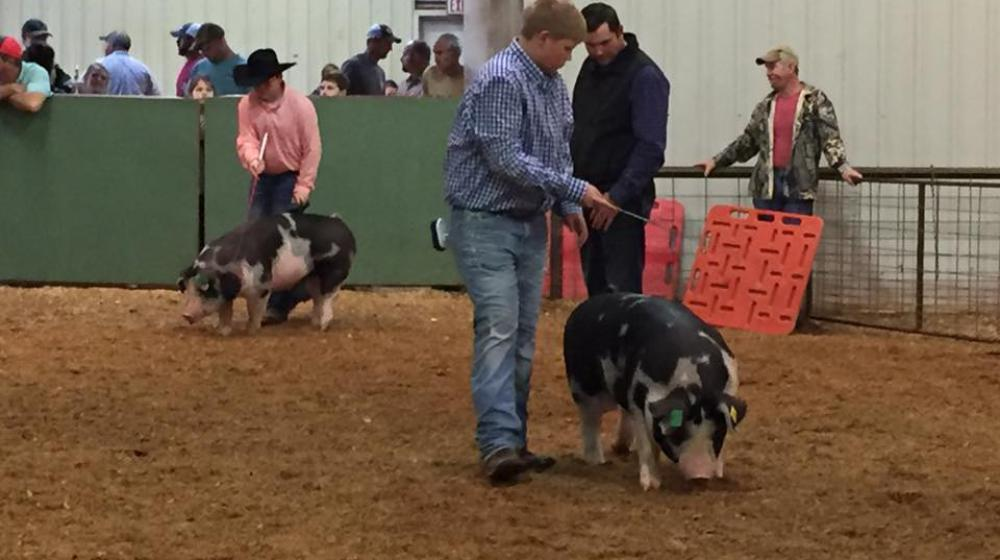 County livestock show - swine