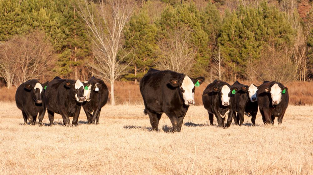 beef cattle black baldy