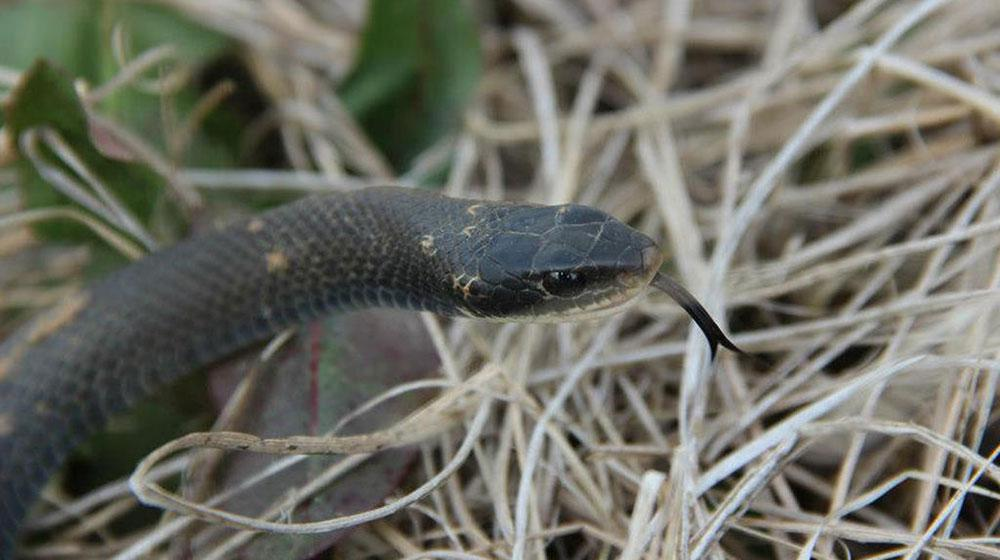 This is an image of a blackracer snake.