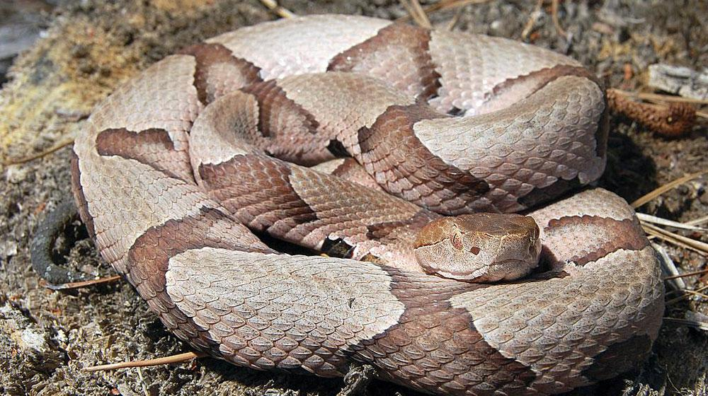 This image of a copperhead, a venomous snake, shows the cat-like pupils