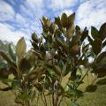 Close-up of small magnolia tree with glossy green leaves. (Photo by Kevin Hudson)