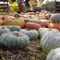 Sage green, bright orange, and golden Cinderella pumpkins line a hay-covered walkway at a pumpkin patch.