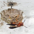 A paper wasp on a multi-cell nest.
