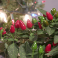 Bright red and green ornamental peppers stand out against a background of green leaves and a small Christmas tree with multicolored lights.
