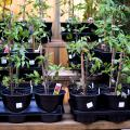 A group of tomato plants tied around a wooden stake in black plastic containers sitting on a shelf.