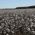Cotton field.