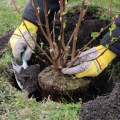 A person with yellow gloves on planting a shrub.