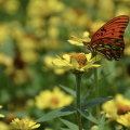 An orange butterfly on a yellow flower.