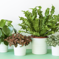 Four house plants in white pots.