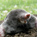 An Eastern mole.