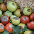Red and green tomatoes with blossom end rot.