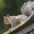 A squirrel on wood railing.