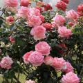 Pink rose bush.
