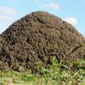 Close-up of a fire ant mound