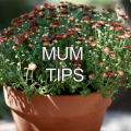 A mum with maroon budding flowers in a clay pot.