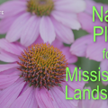 Pink coneflowers which are native to Mississippi.