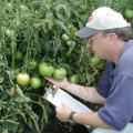 Rick Snyder, Mississippi State University research and Extension horticulturist, examines a tomato plant for signs of disease after a rain at the Truck Crops Branch Experiment Station in Crystal Springs, Miss.