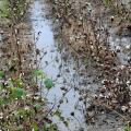 Non-stop rains since harvest began have cost Mississippi producers an estimated $371 million. These cotton plants stand wasting in a rain-saturated field on Mississippi State University's R.R. Foil Plant Science Research Facility. (Photo by Scott Corey)