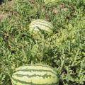 Although delayed by 2013 spring weather, these watermelons soon will be leaving the Chickasaw County field owned by Kayla and Curtis Martin, just in time for July picnic tables. (Photo by MSU Ag Communications/Scott Corey)
