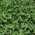 Perennial white clover is an ideal food plot plant. It is a lush groundcover that fixes nitrogen in the soil, attracts deer and provides protein. (Photo courtesy of Bronson Strickland)