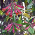 The tubular shape and red color of coral honeysuckle flowers make them a favorite nectar source for hummingbirds in Mississippi. (Photo courtesy of Kathy Jacobs)