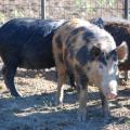Wild pigs have been part of the landscape in the Southeast since Hernando de Soto released them in the 1500s as a source of food for settlers. In the last 20 years, the nuisance animals have increased their range and population in Mississippi, threatening native wildlife and causing millions of dollars in damage to crops, land, timber, structures and farm equipment each year. (Photo by MSU Extension Service/Steven Tucker)