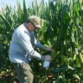 Gary Windham, a research plant pathologist with the U.S. Department of Agriculture, inoculates corn that is part of an aflatoxin study at Mississippi State University R.R. Foil Plant Science Research Center in Starkville, Mississippi, on July 13, 2017. (Photo by MSU Extension Service/Linda Breazeale)